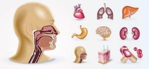 Algunos órganos del cuerpo humano vectorizados