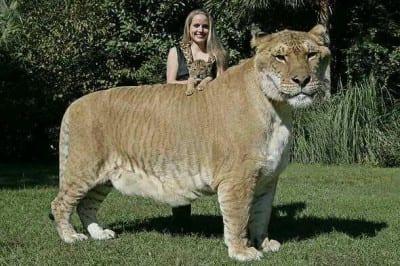 Felino-mas-grande
