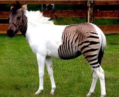 caballo-cebra