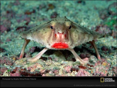 pez-murcielago